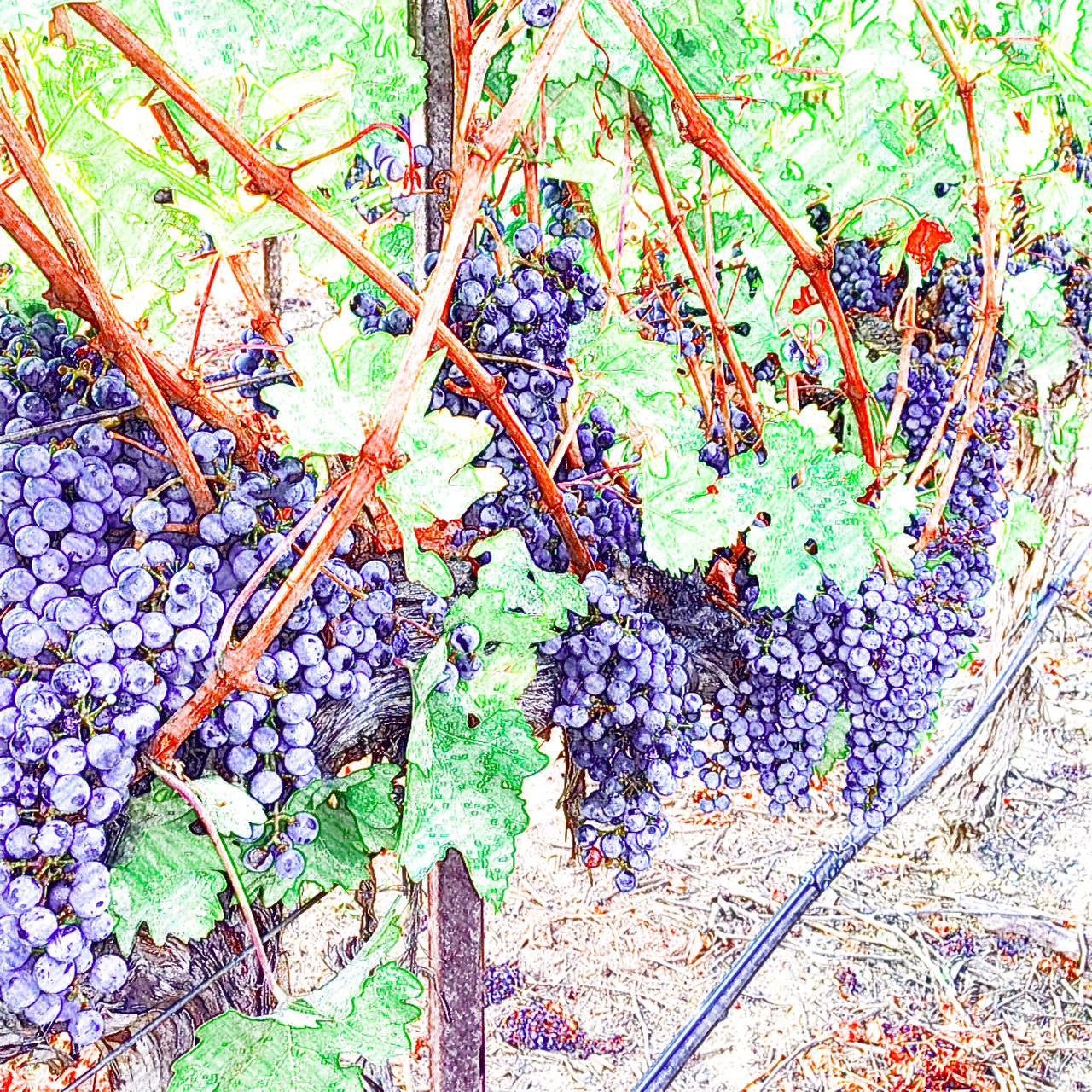Bordeaux Grape Varieties Red Wine Tasting
