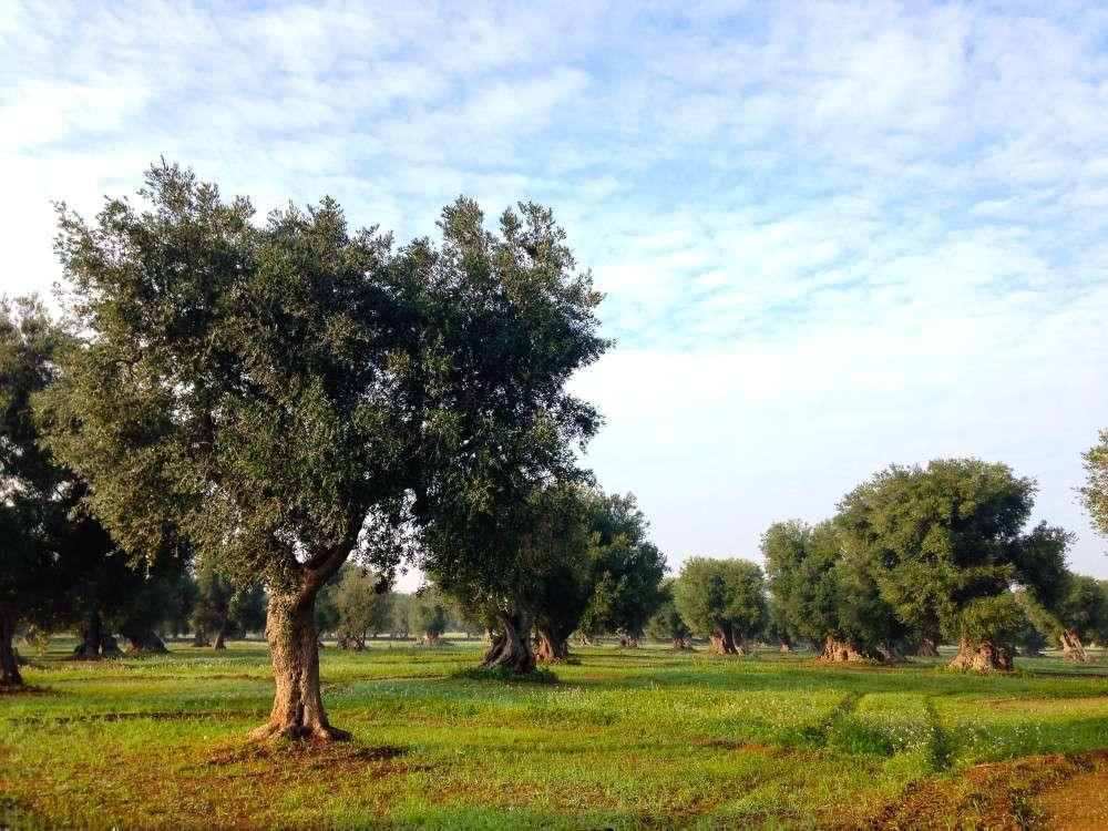 Olive orchard, Masseria Torre Maizza