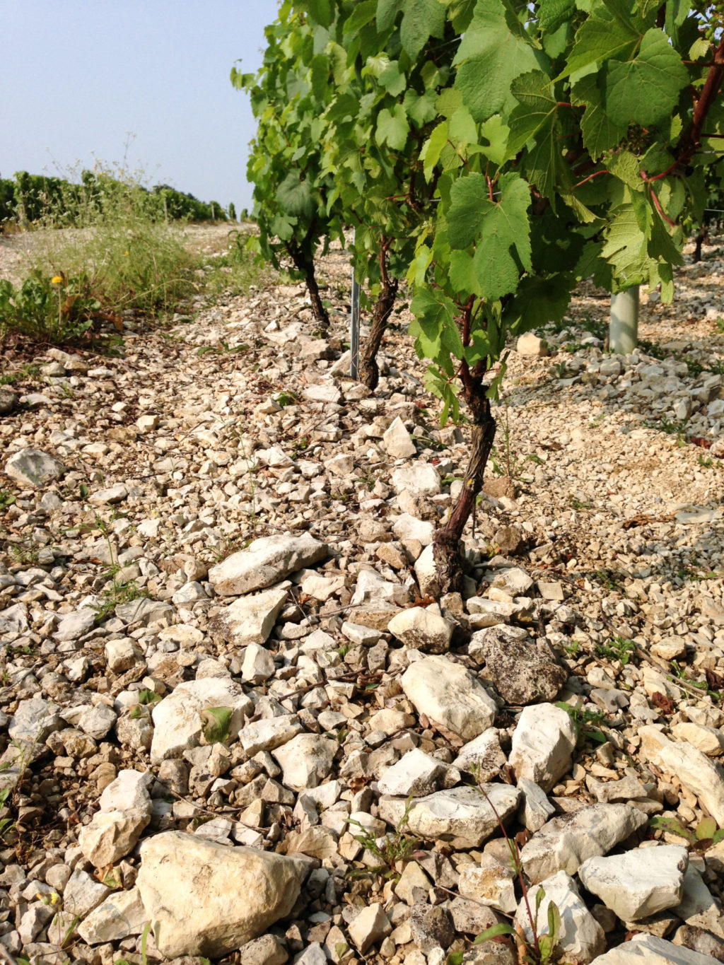 Soils in Chablis, France. Photo by Gloria J. Chang.