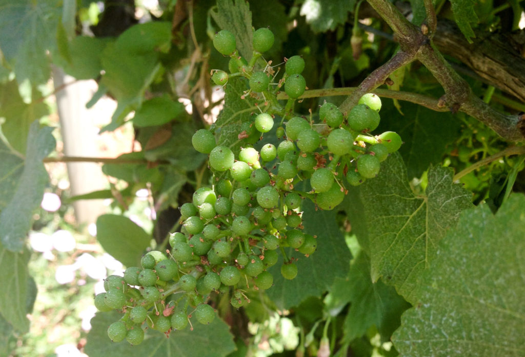 Chardonnay grapes in July in Chablis, France. Photo by Gloria J. Chang.