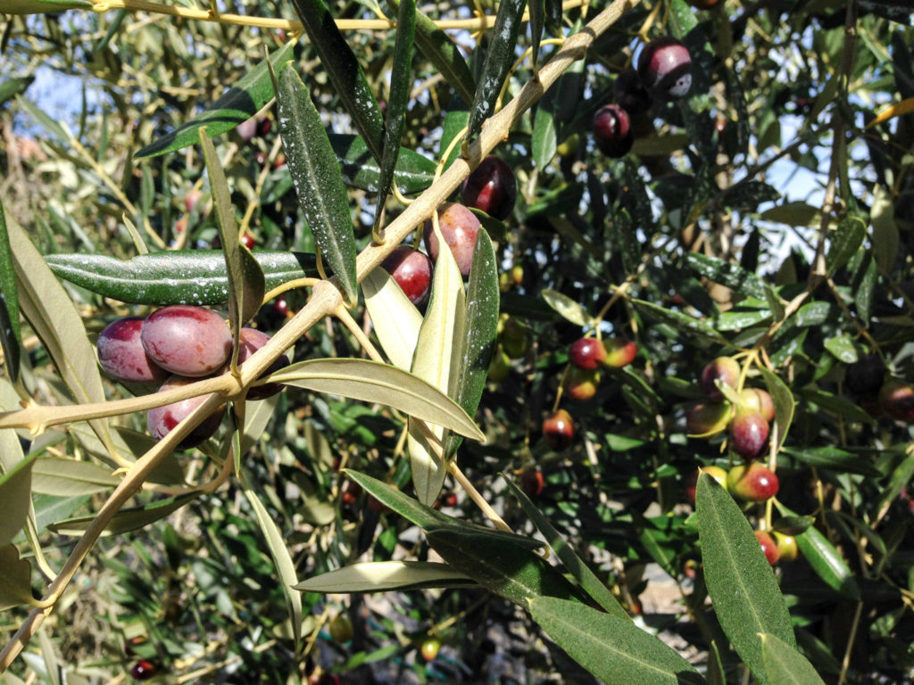 Olives, Gaiole in Chianti. Photo by Gloria J. Chang.