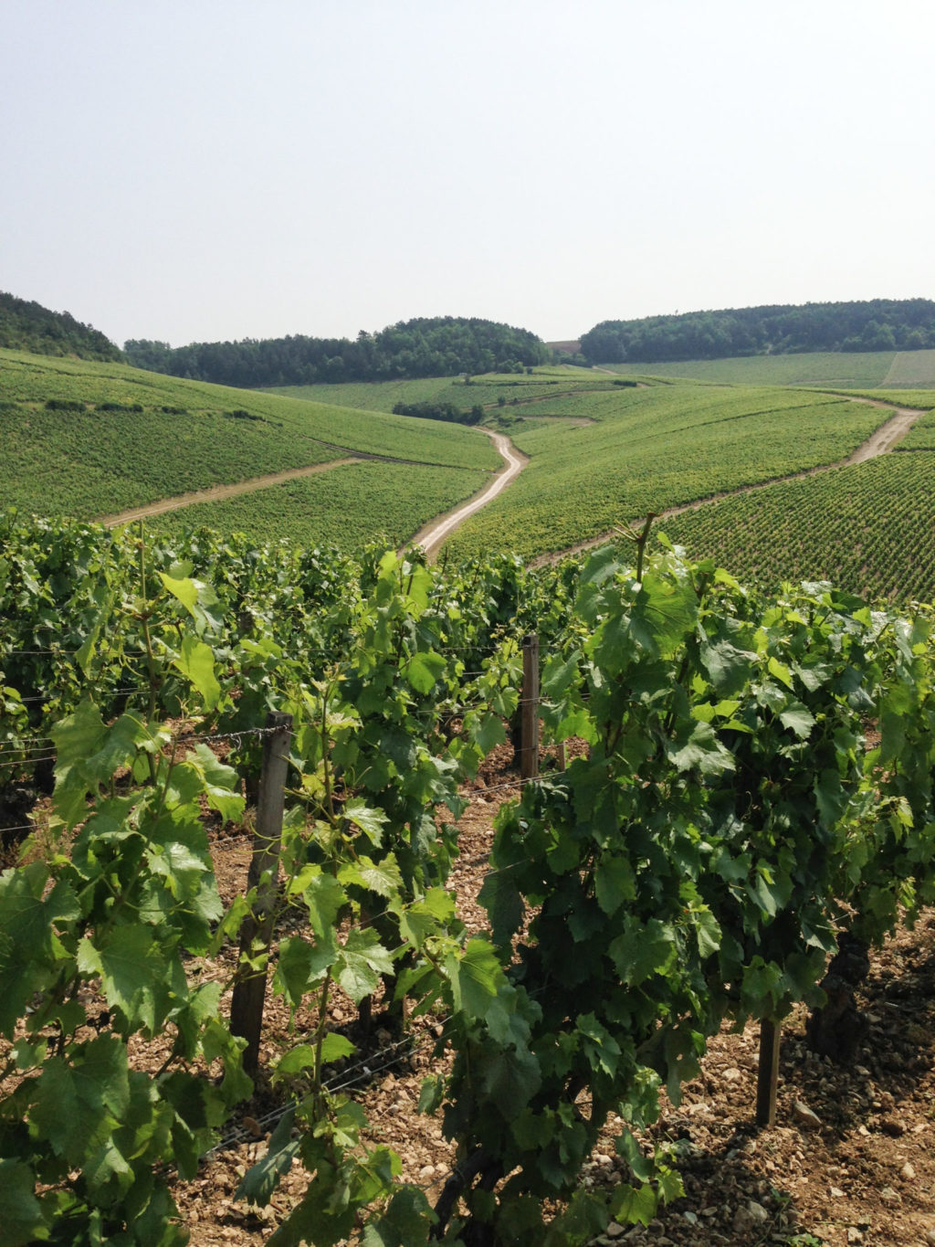 Chablis vineyards in July. Photo by Gloria J. Chang.