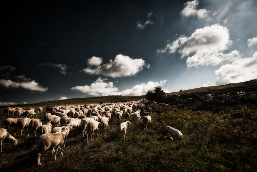 Sheep in Abruzzo, Italy. Photo courtesy Cantine Talamonti.